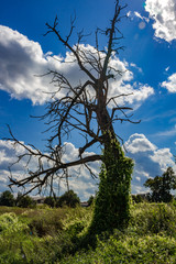 A curling wild plant (echinocystis) wraps around an old dry tree