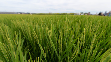 Summer Japanese paddy fields