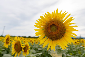 Summer Japanese sunflower