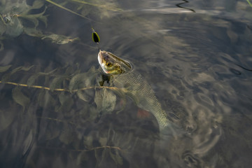 Fishing background of caught chub fish trophy in water.