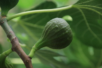 Fig fruits on a plant in a greenhouse nursery in Moerkapelle in the Netherlands.