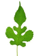 Green mulberry leaf