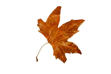 красивые сухие желтые осенние листья на белом фоне