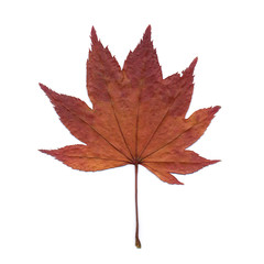 dry maple leaf