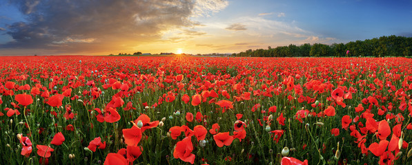Poster Poppy Landscape with nice sunset over poppy field - panorama