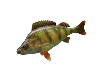 Barsch - Fisch freigestellt