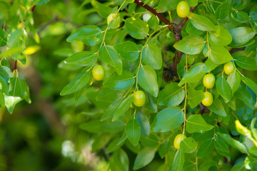 Green background of branches of jujube (jujube real, Chinese date, capiinit, jojoba, lat. In the process jujuba). It's summer