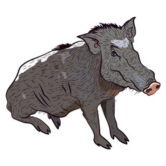 Wild boar. Vector isolated illustration.