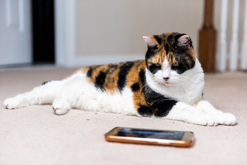 Closeup of calico cat face eyes looking at watching smartphone mobile cell phone video screen of birds and animals on carpet floor indoor inside house