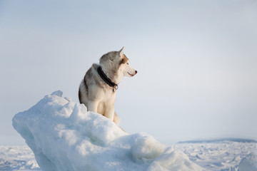 Portrait of Free and wise husky dog sitting on the snow on the ice floe and looking into the distance.