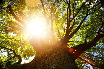 autumn nature background; big old oak tree against sunlight