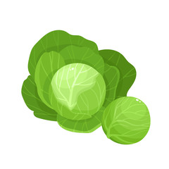 Bright vector illustration of colorful cabbage isolated on white background