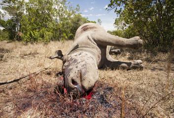 Poached black rhino