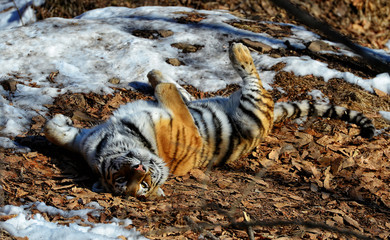 Amur tiger in the forest