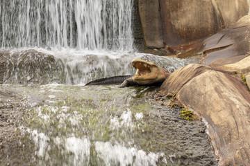 Crocodile by the waterfall