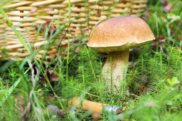 Mushroom in the forest on the background of the wicker basket.