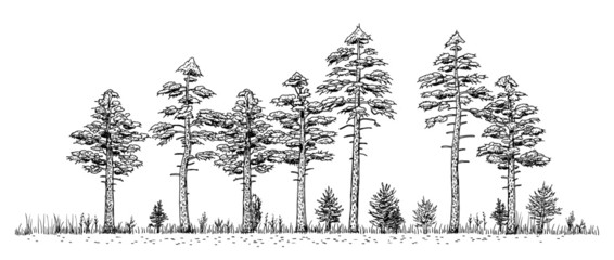 Woods drawing - vintage like illustration of pine forest. Trees silhouettes in line on white background.
