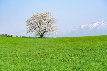 小岩井農場の一本桜と岩手山