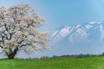 小岩井農場の一本桜と岩手山 クローズアップ