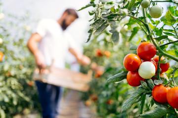 Fototapeta Harvest ripening of tomatoes in a greenhouse obraz