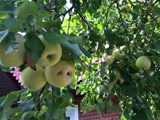 Apple in leaves