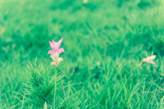 Pink Siam Tulip flower
