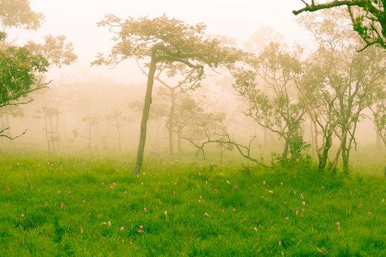 Siam Tulip Field
