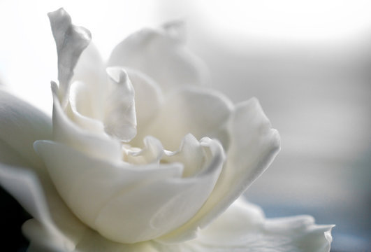 White gardenia bloom in soft focus with pastel colors.