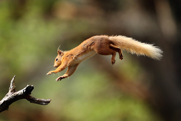 Foto op Aluminium Eekhoorn Red Squirrel flying