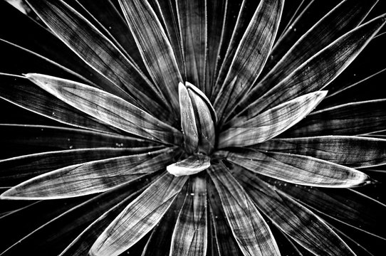 Moody black and white of agave angustiflora with shadows and light.
