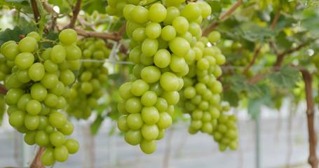 Fresh Grape garden