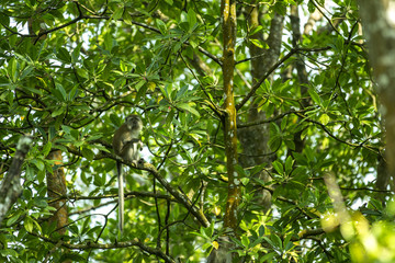 monkey in the mangrove forest