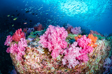 Wall Mural - Beautiful, colorful but delicate soft corals on a tropical coral reef in Asia