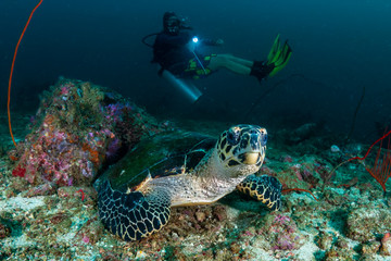 Wall Mural - SCUBA diver looking at a Hawksbill Seaturtle on a dark tropical coral reef at dawn