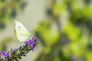 Butterfly, Leaf, Branch, Lavender, Flower, Nature, Natural, Life, Foliage, Macro, Turkey, Istanbul,