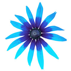 flower blue cyan black rudbeckia isolated on a white  background. Close-up. Element of design.
