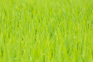 Rice in Thailand