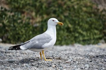 The seagull walks along the coast.