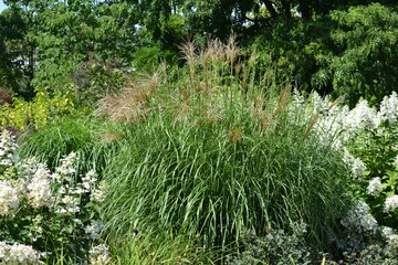 Chinese miscanthus (decorative grass) surrounded by a blooming paniculata hydrangea
