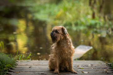 Dog on a path by the river Brussels Griffon