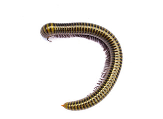 Millipede isolate on white background
