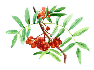 Branches of Rowan painted with watercolor.