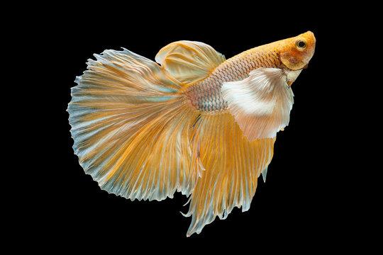 Betta Siamese fighting fish, Betta splendens , popular aquarium fish. Big ears dumbo Golden yellow glossy half moon long tail Betta Fighting motion face isolated on black
