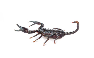 Black scorpion isolated on a white background