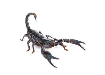Heterometrus longimanus back scorpion.Emperor Scorpion, Pandinus imperator.scorpion isolate on white background.