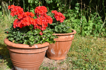 Aluminium Prints Azalea Flower pots with red pelargonia flowers