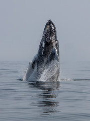 A Humpback Whale Launches Out of the Atlantic Ocean