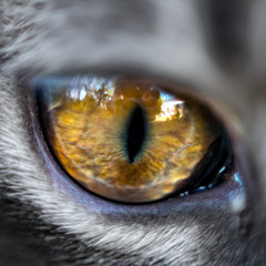 Close up sur œil de chat