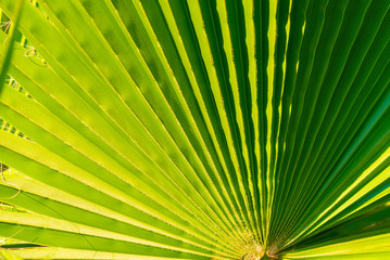 Palm tree leaf, tropical leaf texture, large palm foliage nature green background. Travel, Tourism, vacation concept. Closeup for the adorable pattern.Toned.