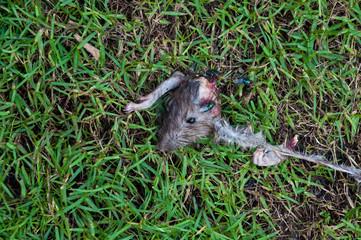 Rotten dead rat had eaten by flies on grass background, Fly breeding and propagation on it. it dead by cats,Dead rat, a rat bugs eat